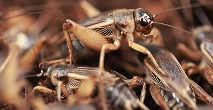 How to breed feeder crickets