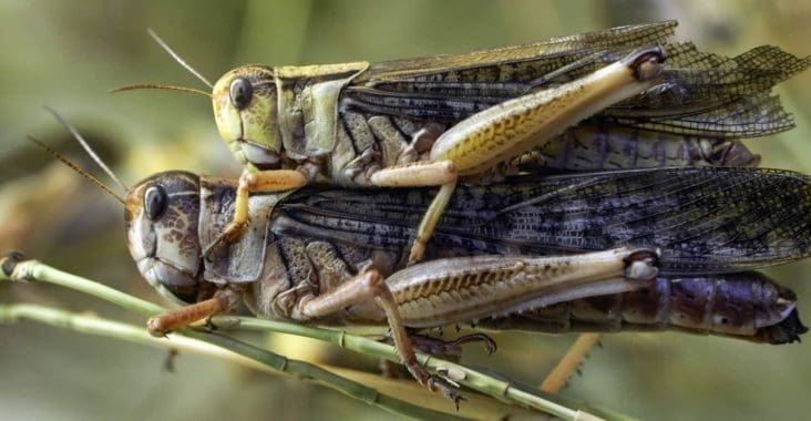 How to breed feeder locusts