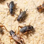 Crickets in industrial farm and gut-loading