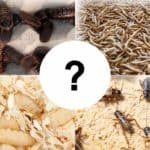 What is the easiest feeder insect to breed