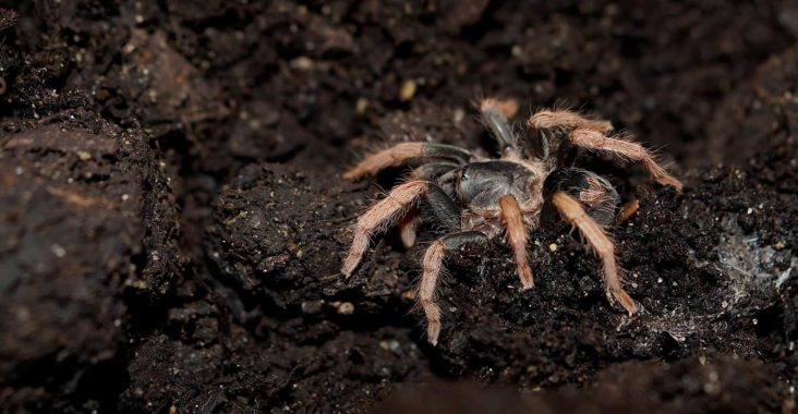 Should you add springtails to your tarantula enclosure