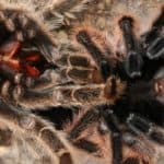 can tarantulas die while molting