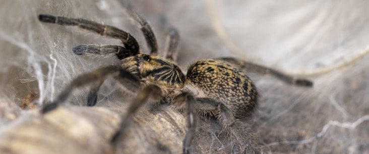 Do tarantulas make a web