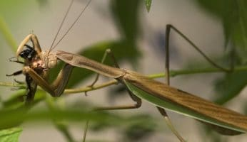 Food and feeding of praying mantis: A practical guide