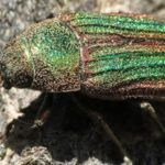 Golden Buprestid: one of the longest living insect known