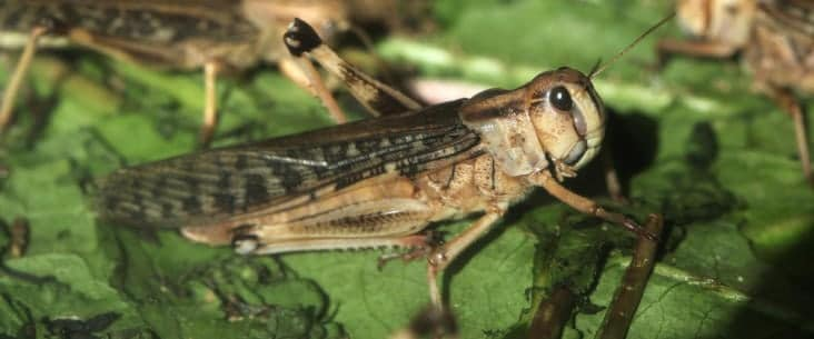 Keeping feeder locusts alive at home
