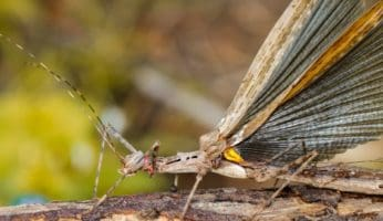 a siam giant stick insect: do stick bugs fly?