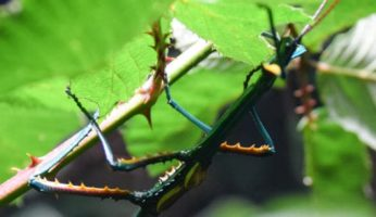 Can you keep different stick insect species together?