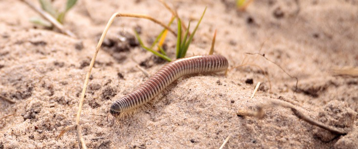 Ivory millipede: A practical care guide