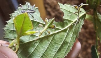 Leaf insect nymphs