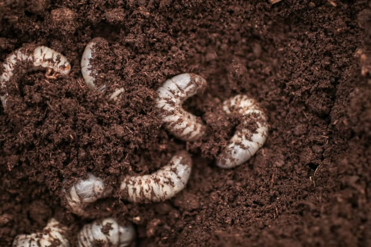 Beetle grubs living in the substrate