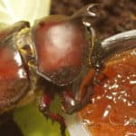 Homemade beetle jelly: A how-to recipe guide