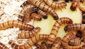 A group of super worms are eating a potato while in their habitat of oats.