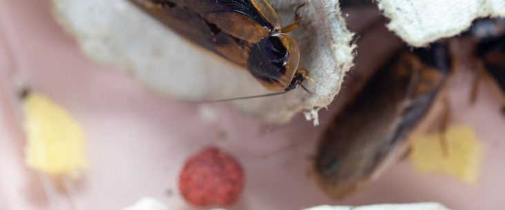 What to feed dubia roaches