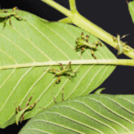 The life cycle of stick insects and leaf insects