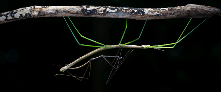 Sex difference with stick insect