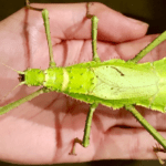 Giant Stick Insects As Pets