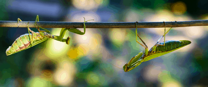 How to tell if a praying mantis is a male or female