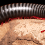 Millipede lifespan and life cycle explained