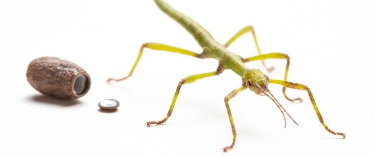 A recently hatched stick insect egg