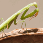Does a praying mantis need a substrate